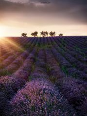 Sunset Trees , Provence, France
