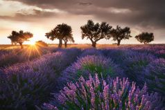 Lavendel Trees , Provence, France