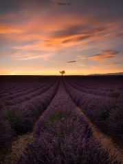 Sunset Tree , Provence, France